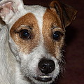 Petey Dog Jack Russell by Laurie Kidd
