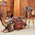 Petra Camels by Stephen Stookey