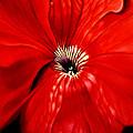 Petunia by Anni Adkins