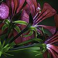 Petunia by Christine Czernin-Morzin