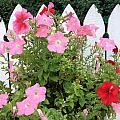 Petunia Picket Fence by Peg Toliver