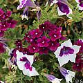 Petunias And Verbena I by Sylvia Thornton