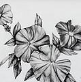 Petunias by Karen Beasley