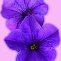 Petunias by Paul Pecora