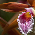 Phaius Tankervilleae Orchid by Al Andersen