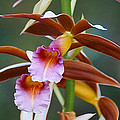 Phaius Tankervilliae Orchid by Blair Wainman