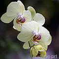 Phal Ming Chao Dancer 0754 by Terri Winkler