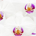 Phalaenopsis by Anne Gilbert