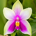 Phalaenopsis Bellina by Millard H. Sharp