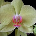 Phalaenopsis Fuller's Sunset Orchid No 2 by Mary Deal