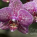 Phalaenopsis Helen Alice Mary 2220 by Terri Winkler