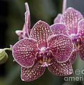Phalaenopsis Helen Alice Mary 2346 by Terri Winkler