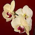 Phalaenopsis by Janice Byer