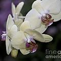 Phalaenopsis Ming Chao Dancer   8585 by Terri Winkler