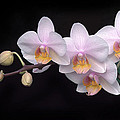 Phalaenopsis Orchid by Dave Mills