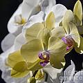 Phalaenopsis Orchids 2777 by Terri Winkler