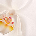 Phalaenopsis White Orchid by Bobbie Climer