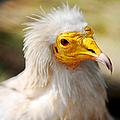 Pharaoh Chicken. Egyptian Vulture by Jenny Rainbow