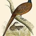 Pheasant by Beverley R Morris