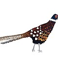 Pheasant by Isobel Barber