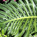 Philodendron 6 by Dawn Eshelman
