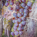 Phil's Grapes by Jeff Swanson