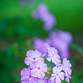 Phlox In Bloom by Andy Crawford