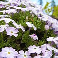 Phlox by Jamie Johnson