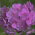 Phlox Nicky by Teresa Mucha