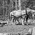 Photograph Of Horses Pulling Logs In Maine Forest by Keith Webber Jr