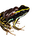 Phyllobates Lugubris With Tadpoles by JP Lawrence