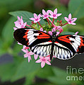 Piano Key Butterfly On Pink Penta by Sabrina L Ryan