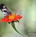 Piano Wings Butterfly by Sabrina L Ryan