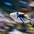 Picasso - Lagoon Triggerfish Rhinecanthus Aculeatus by Jamie Pham