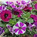 Pick Purple by Sylvia Thornton