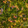 Pickin Blueberries by Larry McMahon