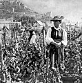 Picking Grapes In Switzerland by Underwood Archives