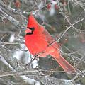 Picture Perfect Cardinal by Peggy  McDonald