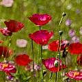 Picture Perfect Poppies by Rich Franco