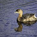 Pied-billed Grebe by Fran Gallogly