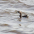 Pied-billed Grebe by Thomas Young