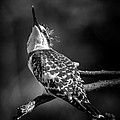 Pied Kingfisher by David Van der Want