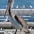 Pier Brown Pelican by Carol Groenen