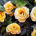Pierre's Peach Roses by RC DeWinter