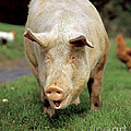 Pig by H Reinhard Tierbild Okapia