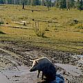Pig In Mud by Konstantin Sutyagin