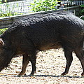 Pig - National Zoo - 01131 by DC Photographer