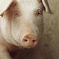 Pig Portrait by Isao Enomoto