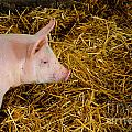 Pig Standing In Hay by Amy Cicconi