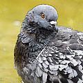 Pigeon Bath by Pati Photography